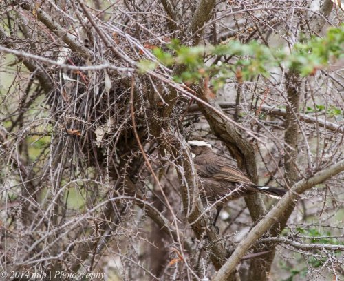A Babbler helping build a new nest in a spiny thicket about 2 metres off the ground