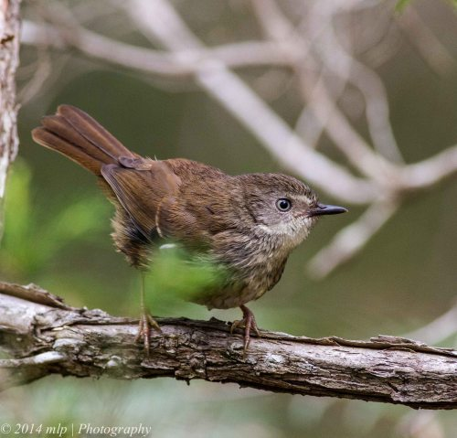 White Browed Scrubwren , Greens Bush, Vic 1 Jan 2014_