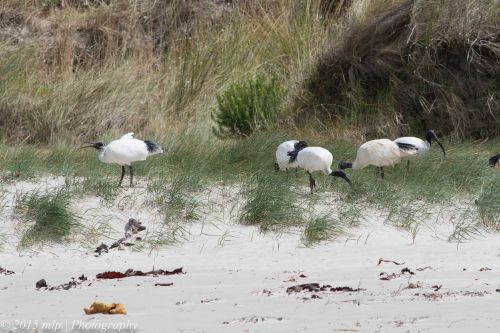 White Ibis feeding in the grasses along the beach edge