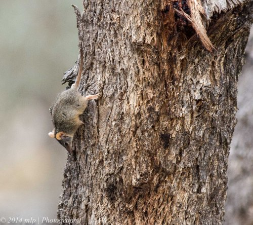 Yellow Footed Antechinus IV