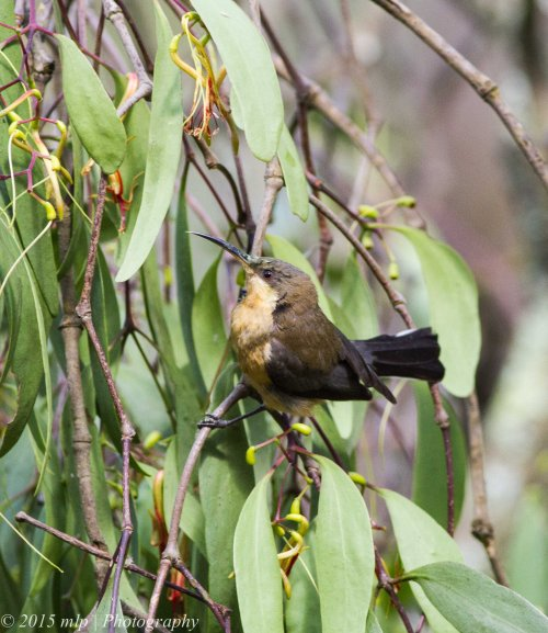 Young Eastern Spinebill