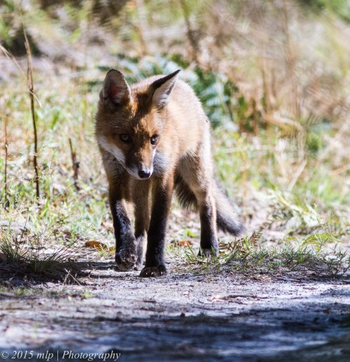 Young Fox out and about exploring