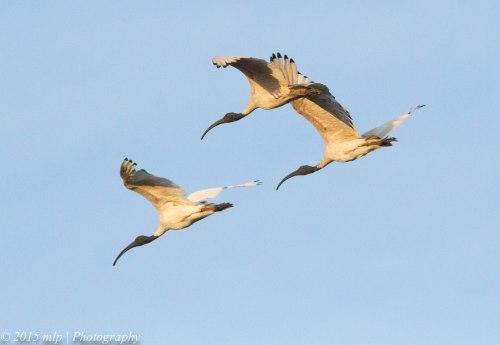 Australian White Ibis III