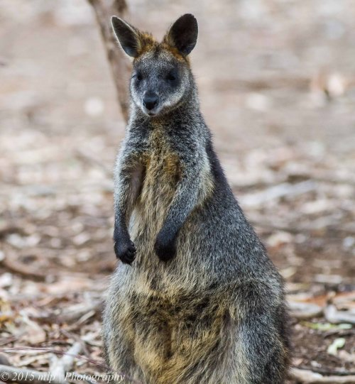 Black Wallaby