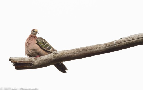 Common Bronzewing II