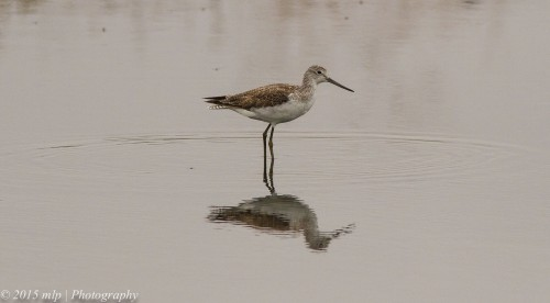 Common Greenshank,
