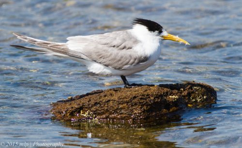 Tagged Crested Tern
