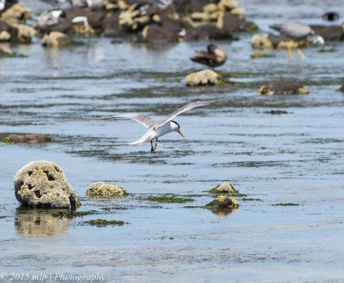 Crested Tern II