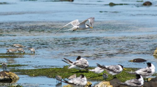 Crested Terns and Curlew Sandpipers