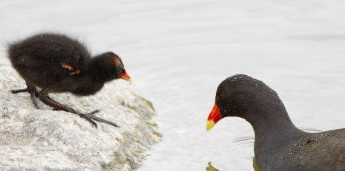 Dusky Moorhen & Chick