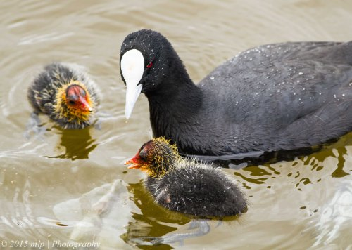 Eurasian Coot and chicks II,