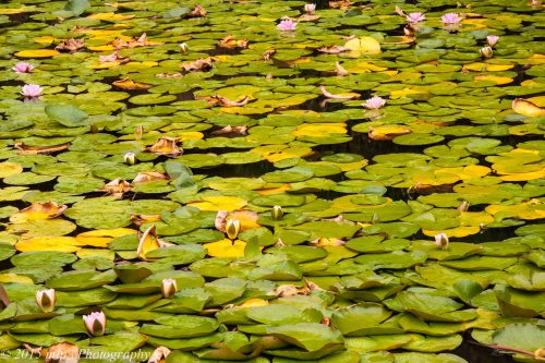 Flowering Water Lillies