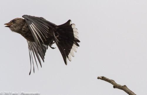 Juvenile Dusky Woodswallow III
