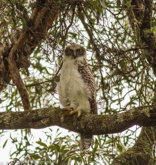 Juvenile Powerful Owl