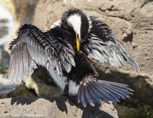 Little Pied Cormorant grooming and drying his feathers.