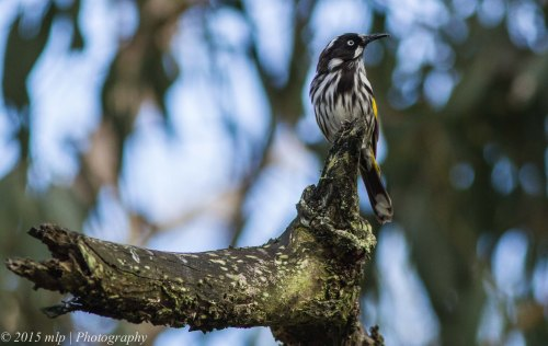 New Holland Honeyeater,