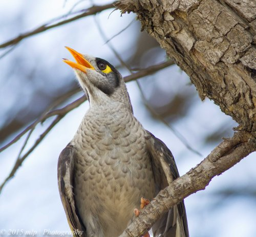 Noisy Miner, Elster Creek