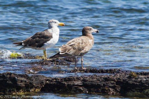 Pacific Gulls