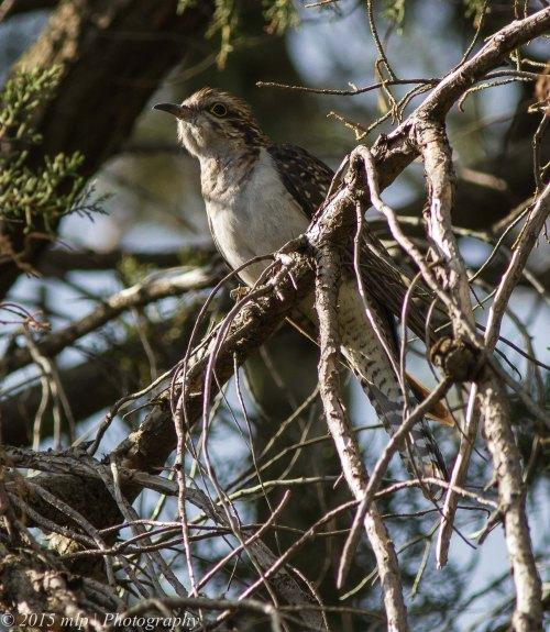 Pallid Cuckoo, Elster Creek