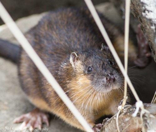 I am not a rat, I am a Rakali...a native water mammal, a water ah um ....rat