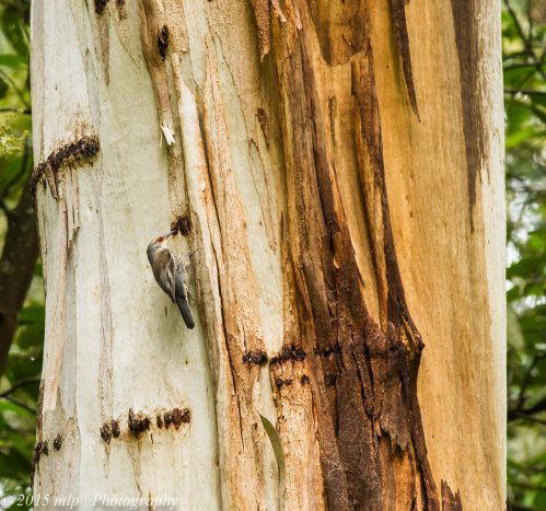 Red Browed Treecreeper