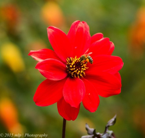 Red Flower and Bee with pollen baskets