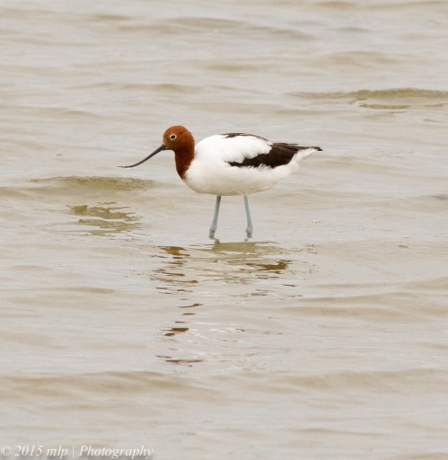 Red Necked Avocet,  Western Treatment Plant