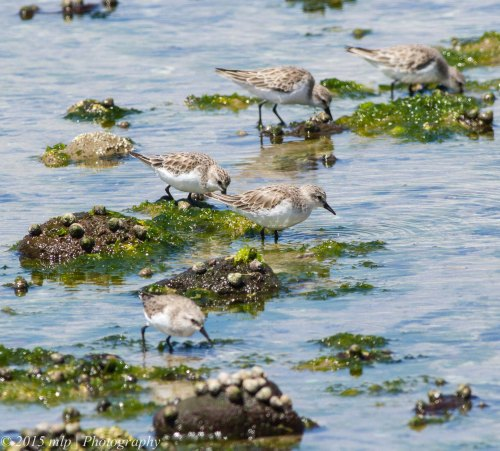 Red Necked Stints