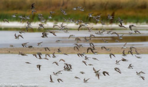 Shorebird flock, Western Treatment Plant