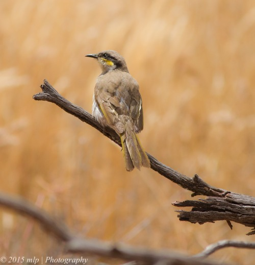 Singing Honeyeater,