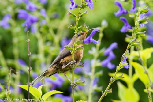 Blue Flower with Spinebill