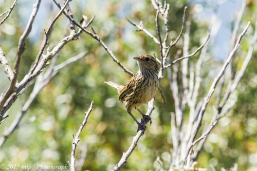 Striated Fieldwren, Western Treatment Plant, Werribee - 23 Nov 2014