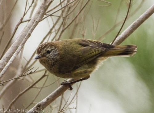 Striated Thornbill II