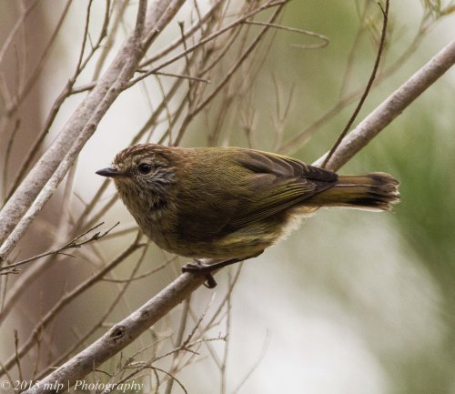 Striated Thornbill III