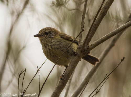 Striated Thornbill V