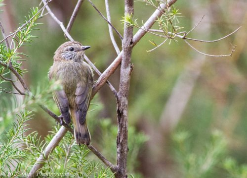 Striated Thornbill VI