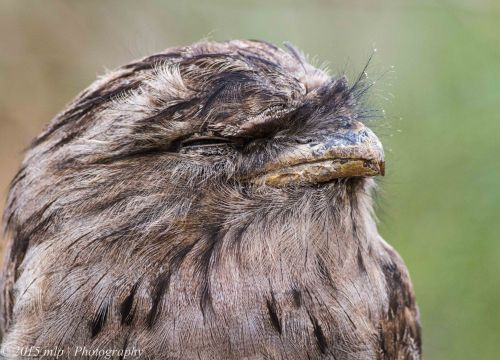 Tawny Frogmouth,