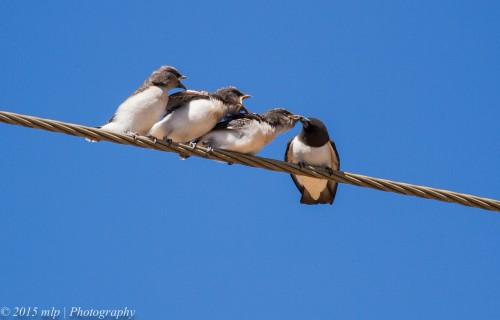 White Breasted Woodswallows, Lake Boga