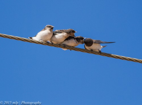 White Breasted Woodswallows, Lake Boga