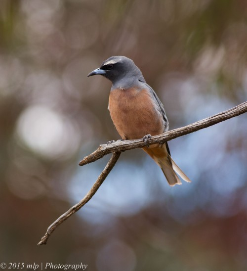 White Browed Woodswallow