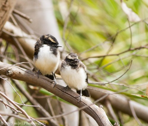 Willie Wagtail fledglings II