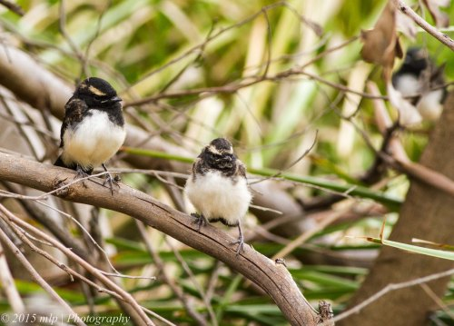 Willie Wagtail fledglings