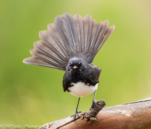 Willie Wagtail III