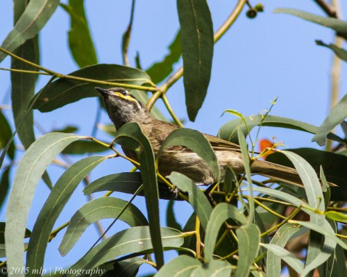 Yellow Faced Honeyeater