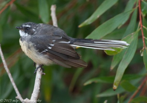 Young Grey Fantail