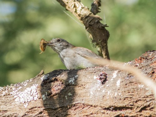 Adult Grey Shrike Thrush