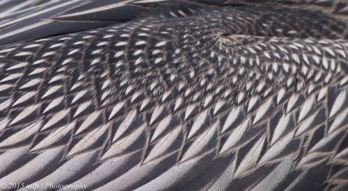 Australasian Darter