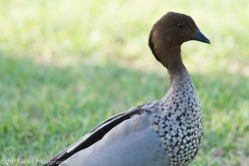 Australian Wood-duck