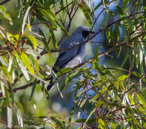 Black Faced Cuckoo-shrike