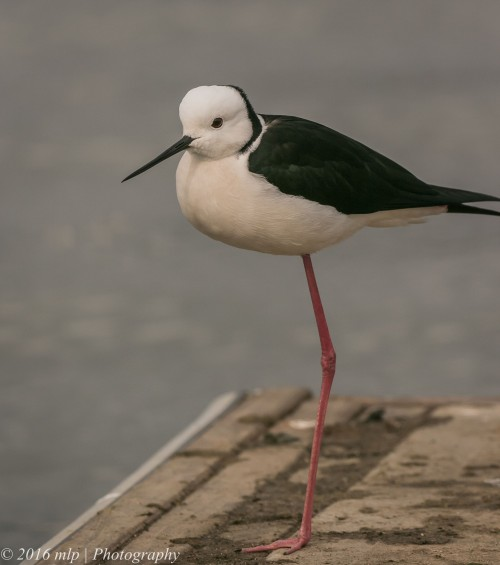 Black Winged Stilt, Albert Park Lake, Victoria,